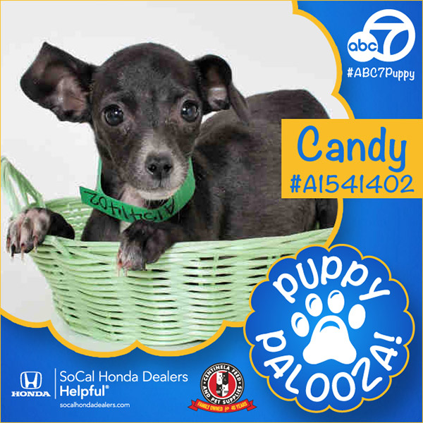 "<div class=""meta image-caption""><div class=""origin-logo origin-image none""><span>none</span></div><span class=""caption-text"">Meet Candy! She's a 2-month-old black and white, smooth-coated Chihuahua. Candy was adopted Wednesday. (KABC)</span></div>"