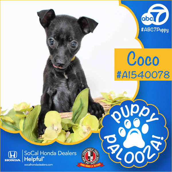 "<div class=""meta image-caption""><div class=""origin-logo origin-image none""><span>none</span></div><span class=""caption-text"">Meet Coco! She's a 2-month-old smooth-coated, black Chihuahua. Coco was adopted by Ruston Thomas of Baldwin Hills. . (KABC)</span></div>"