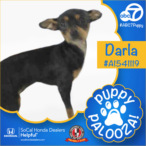 "<div class=""meta image-caption""><div class=""origin-logo origin-image none""><span>none</span></div><span class=""caption-text"">Meet Darla! She's a 3-month-old black and tan, smooth-coated Chihuahua. Darla was adopted on Tuesday. (KABC)</span></div>"