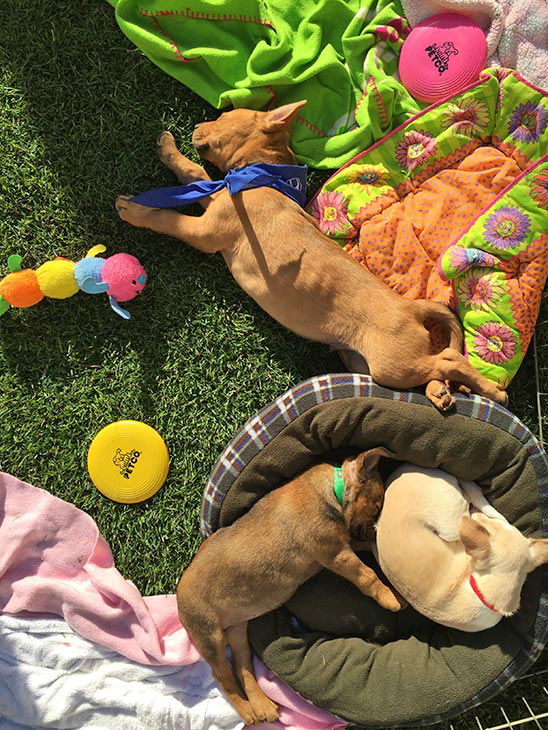 "<div class=""meta image-caption""><div class=""origin-logo origin-image none""><span>none</span></div><span class=""caption-text"">Puppies nap at our 2nd annual Puppypalooza Adoption Event on Tuesday, March 24, 2015. (KABC)</span></div>"
