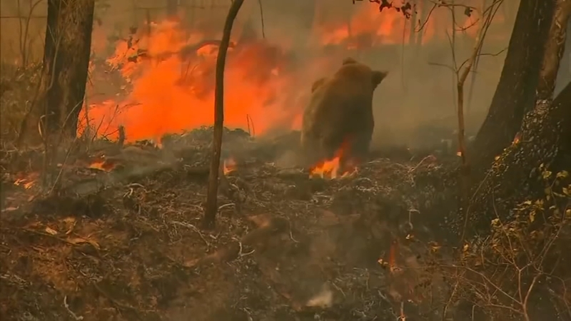 Image result for koala in wildfire