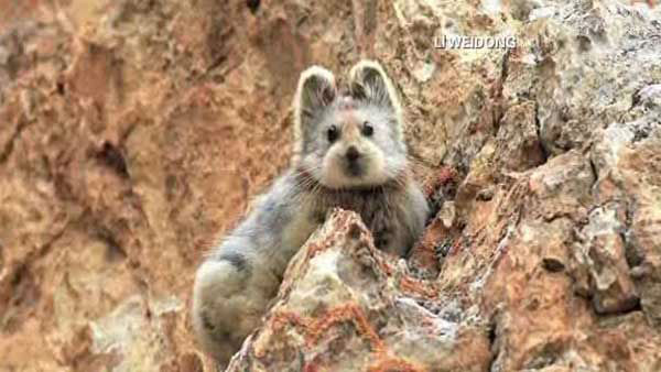 "<div class=""meta image-caption""><div class=""origin-logo origin-image none""><span>none</span></div><span class=""caption-text"">The Ili pika, a rare mammal discovered in China, has a face like a teddy bear and ears like a bunny. Fewer than 1,000 of these cute animals may be left. (WLS Photo)</span></div>"