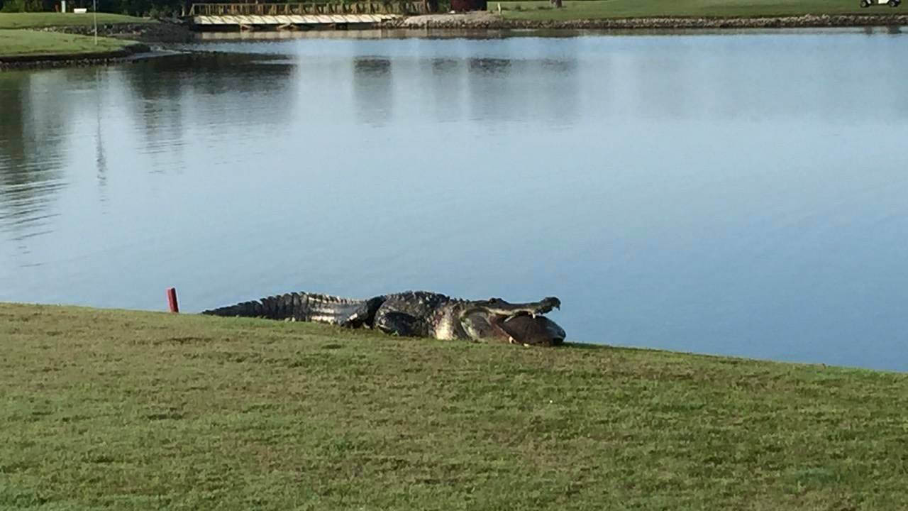 Photos Giant Alligator On A Florida Golf Course Abc7 Chicago