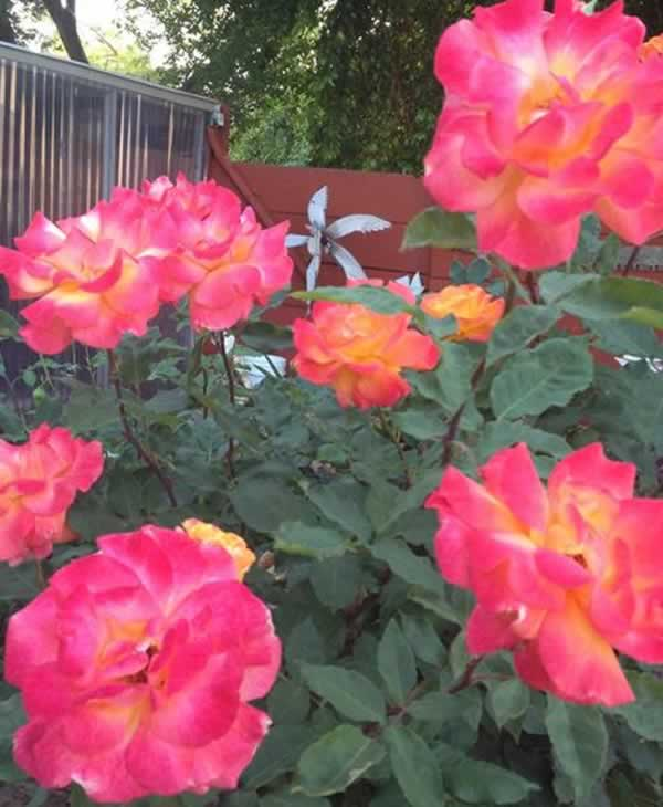 "<div class=""meta image-caption""><div class=""origin-logo origin-image ""><span></span></div><span class=""caption-text"">Rio roses in Livermore (Photo submitted via uReport)</span></div>"
