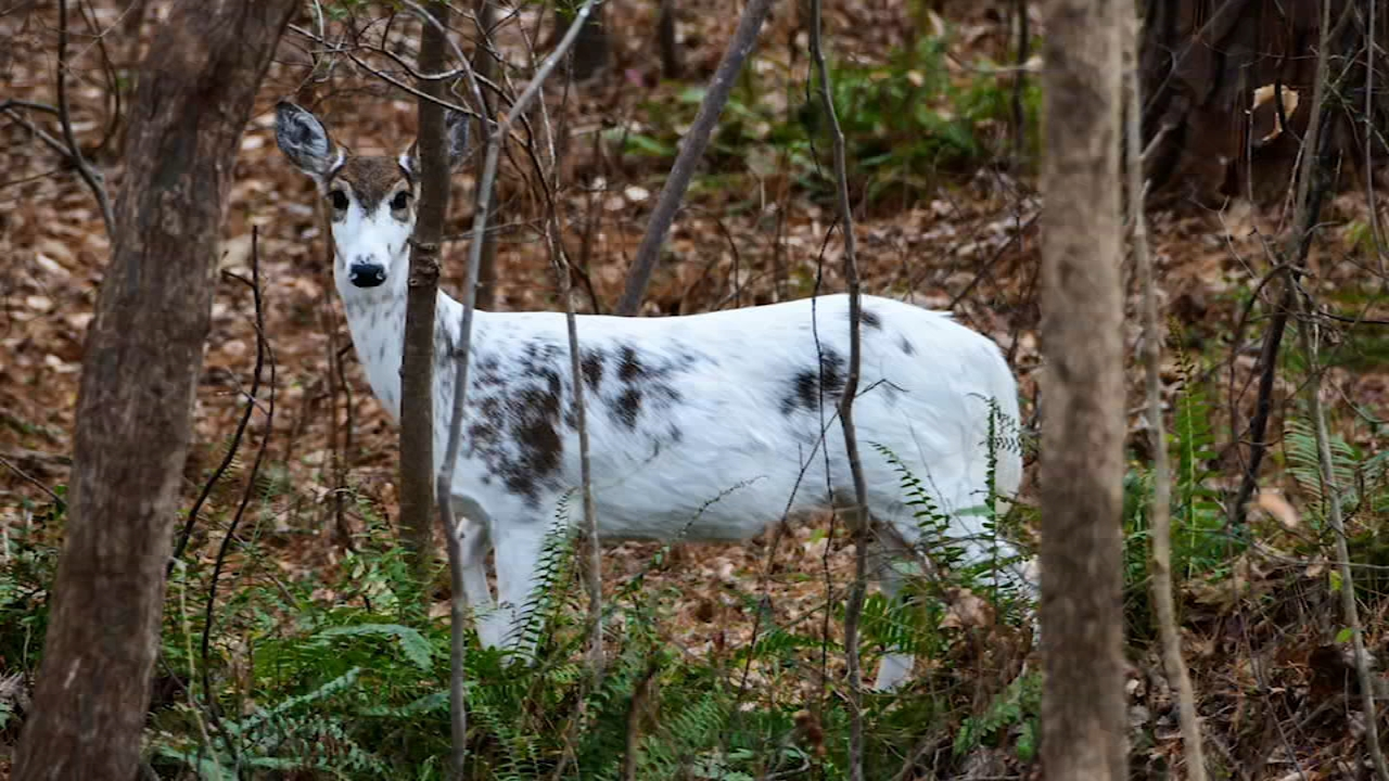 Rare piebald deer spotted in Cary - ABC11 Raleigh-Durham