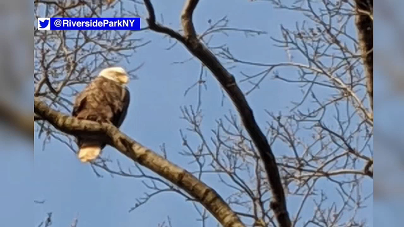 Majestic bald eagle spotted over Riverside Park in NYC
