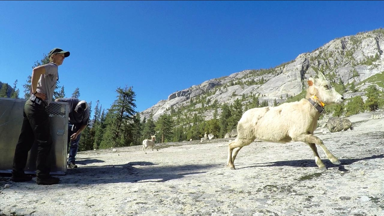 Sierra Nevada bighorn sheep released into Yosemite National Park