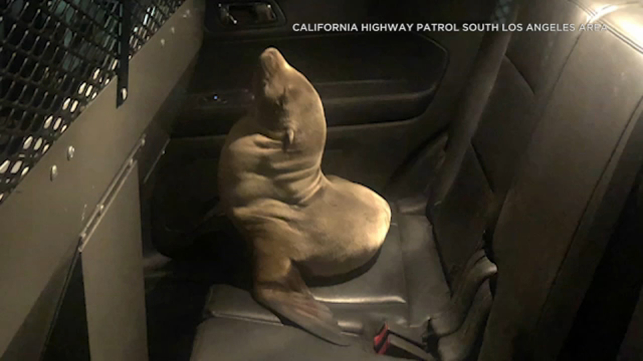 Good Samaritan, CHP officers rescue seal pup from lanes of 710 Freeway in Long Beach