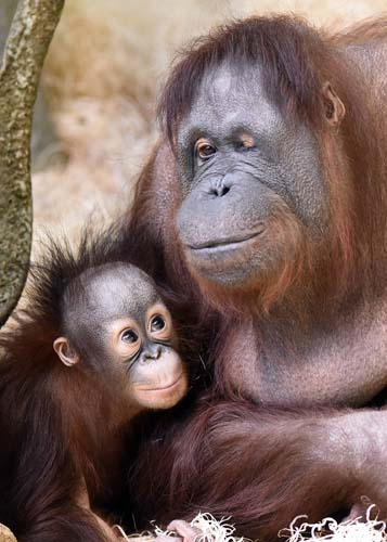 """<div class=""""meta image-caption""""><div class=""""origin-logo origin-image none""""><span>none</span></div><span class=""""caption-text"""">Kecil, a one-year-old orangutan at Brookfield Zoo, can be seen at Brookfield Zoo's Tropic World: Asia on Saturdays and Sundays from 10:00 a.m. to noon. (Jim Schulz/Chicago Zoological Society)</span></div>"""