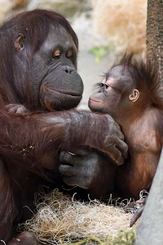 """<div class=""""meta image-caption""""><div class=""""origin-logo origin-image none""""><span>none</span></div><span class=""""caption-text"""">Since his arrival in June 2014, Kecil has been behind the scenes bonding with his surrogate mom, Maggie, as well as developing his climbing and coordination skills. (Chicago Zoological Society)</span></div>"""