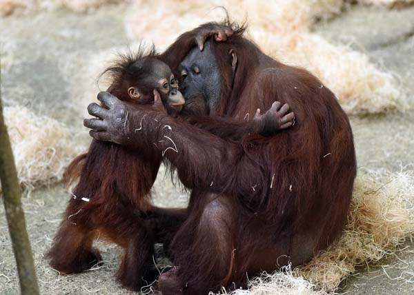 """<div class=""""meta image-caption""""><div class=""""origin-logo origin-image none""""><span>none</span></div><span class=""""caption-text"""">The public can go to the zoo's website at www.CZS.org to check for updates on additional hours to see Kecil and his mom.</span></div>"""