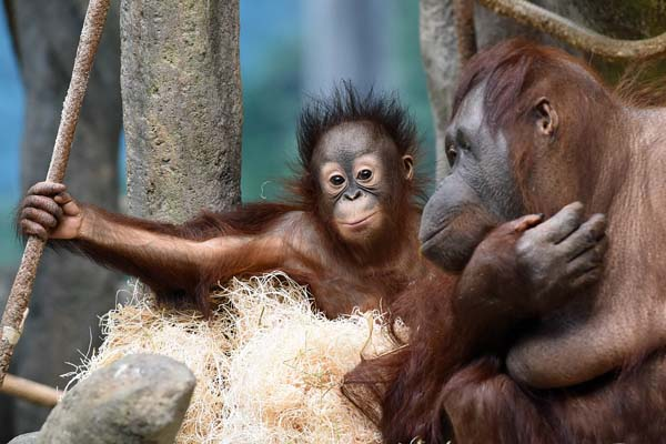 """<div class=""""meta image-caption""""><div class=""""origin-logo origin-image none""""><span>none</span></div><span class=""""caption-text"""">Kecil was just six months old when he came to Brookfield Zoo. (Jim Schulz/Chicago Zoological Society)</span></div>"""