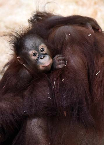 """<div class=""""meta image-caption""""><div class=""""origin-logo origin-image none""""><span>none</span></div><span class=""""caption-text"""">Kecil was born on January 11, 2014, at Toledo Zoo in Ohio. His mother was not interested in caring for him after a difficult delivery. (Schulz/Chicago Zoological Society)</span></div>"""