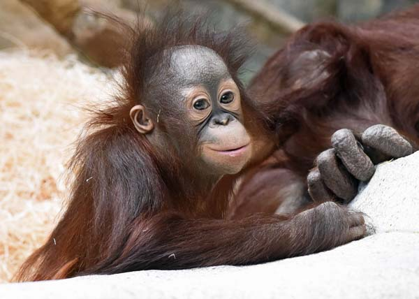 """<div class=""""meta image-caption""""><div class=""""origin-logo origin-image none""""><span>none</span></div><span class=""""caption-text"""">At four months, he went to Milwaukee County Zoo and was placed with another possible surrogate. They didn't bond as closely as hoped. (Jim Schulz/Chicago Zoological Society)</span></div>"""