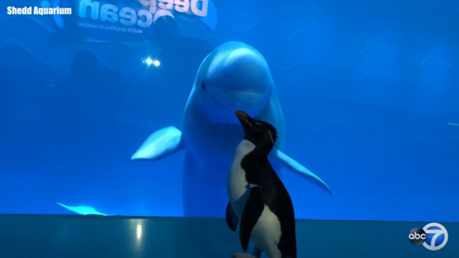 Chicago S Shedd Aquarium Penguins Visit