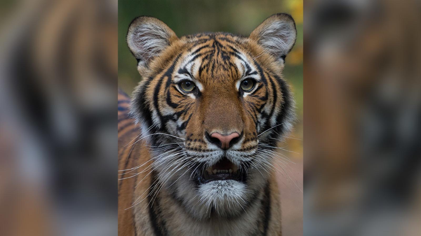 Una tigresa de un zoo de Nueva York contrae coronavirus tras contactar con un empleado infectado (ENG)