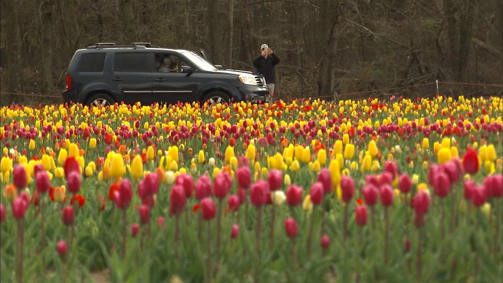 It S Still Tulip Time At This Drive Thru Flower Farm Internewscast
