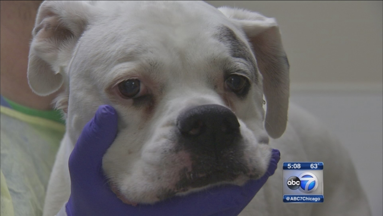 Dog flu reaches ?epidemic? levels in Chicago