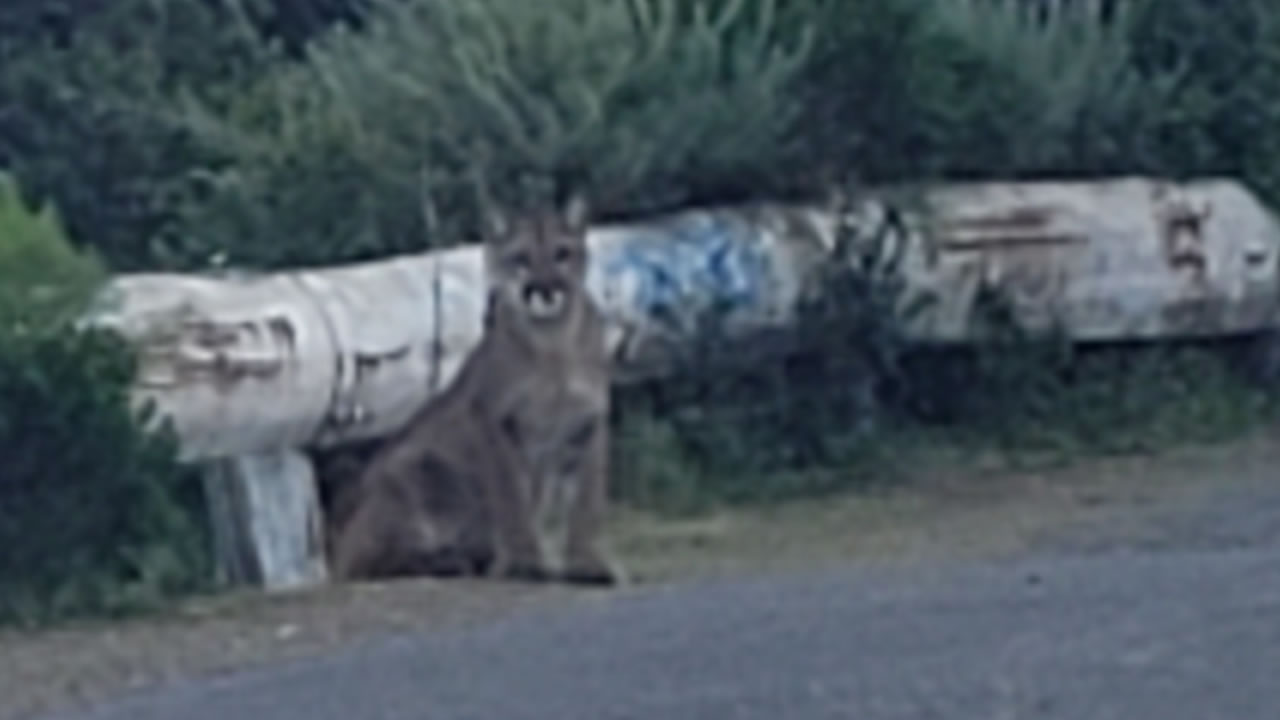 This Thursday, May 7, 2020 images shows a mountain lion on Sweeney Trail in San Bruno, Calif.