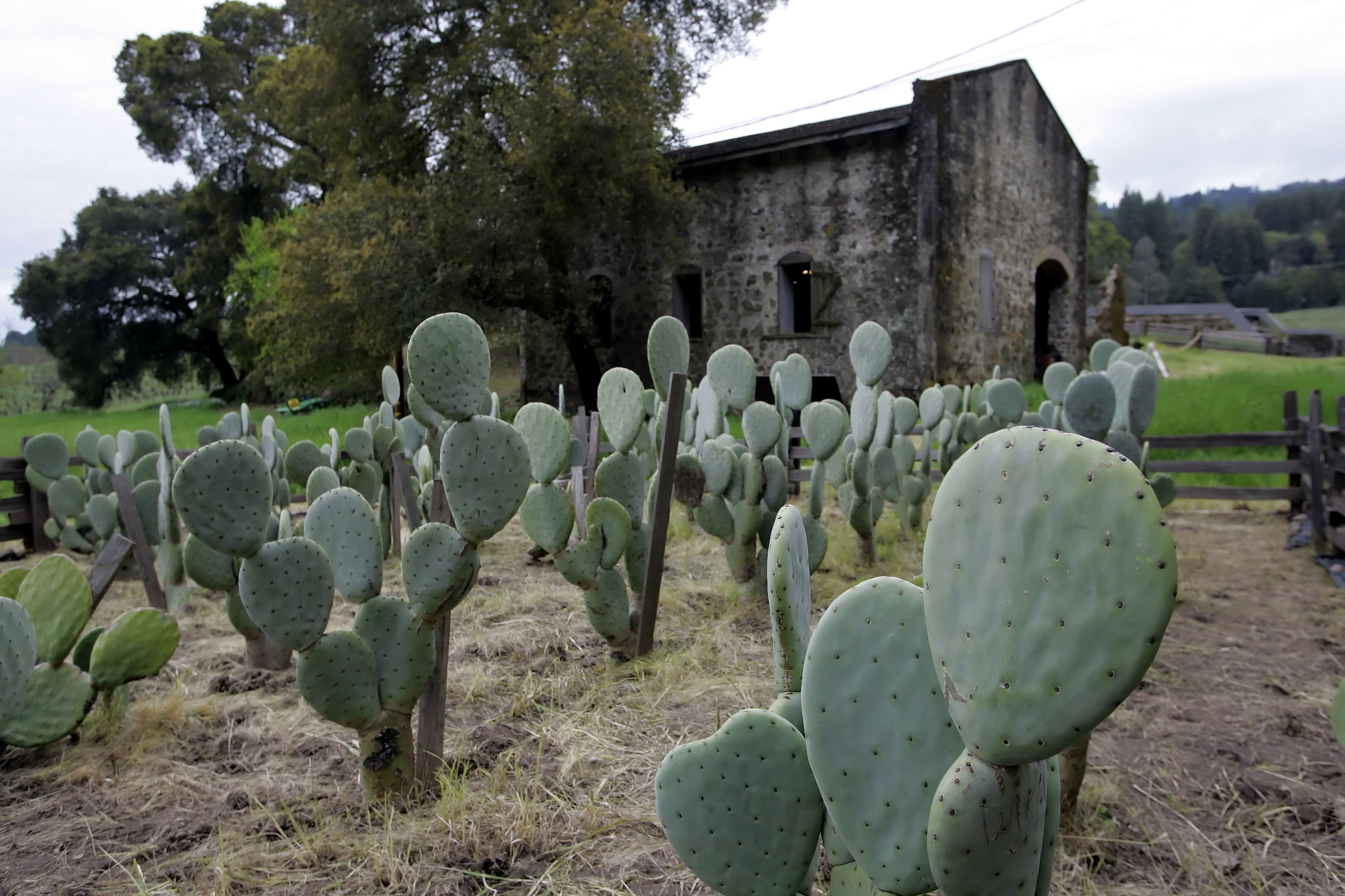 A group of spineless cactus are shown outside a distillery by Jack London's cottage at Jack London State Park in Glen Ellen, Calif., April 25, 2006.