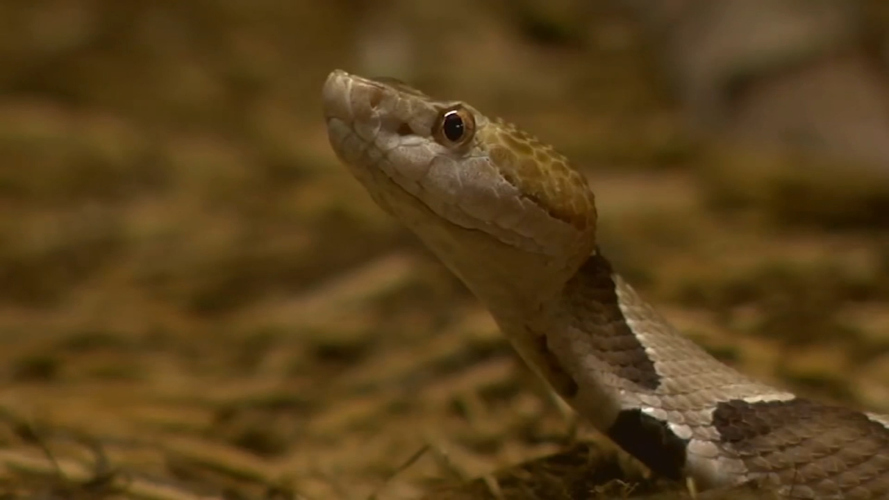 More People Get Snake Bites This Year As People Go For Walks Due To Coronavirus Abc11 Raleigh Durham
