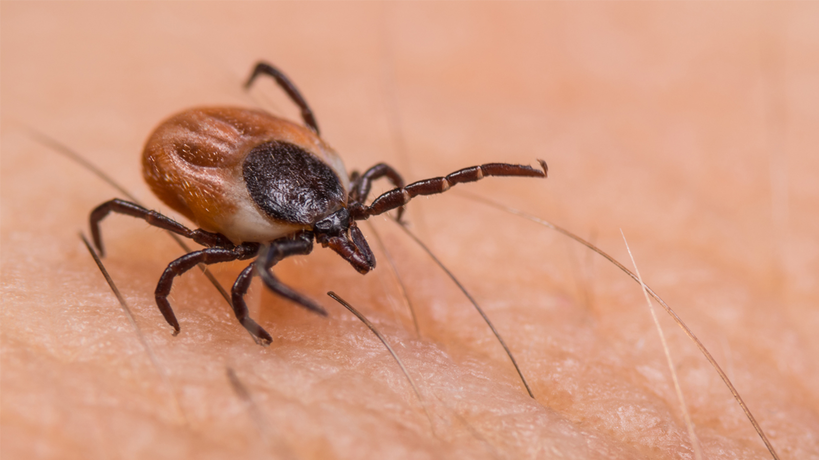 Tick season could be worse this year as we deal with COVID 19, experts say  - ABC7 Los Angeles