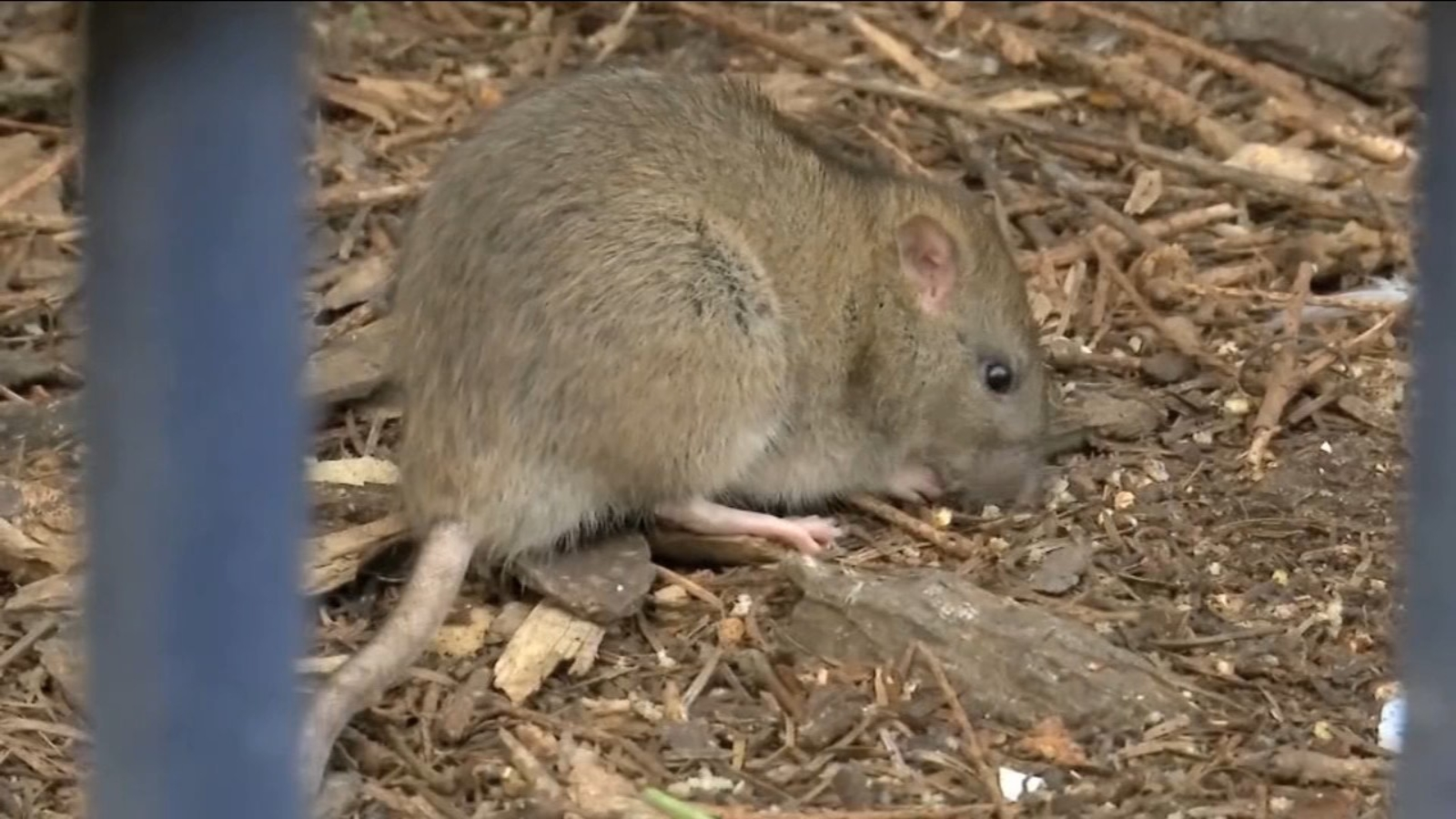 Photo of Coronavirus News: Rodent infestation has Rockland County residents on high alert