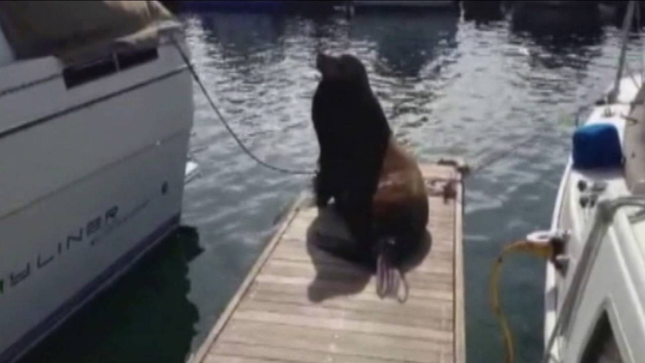 A large sea lion on a dock is shown in this undated file photo.
