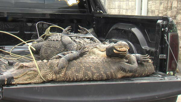 "<div class=""meta image-caption""><div class=""origin-logo origin-image none""><span>none</span></div><span class=""caption-text"">A couple came face-to-face with a 400 pound live alligator in their southeast Texas backyard (Photo/KBMT)</span></div>"