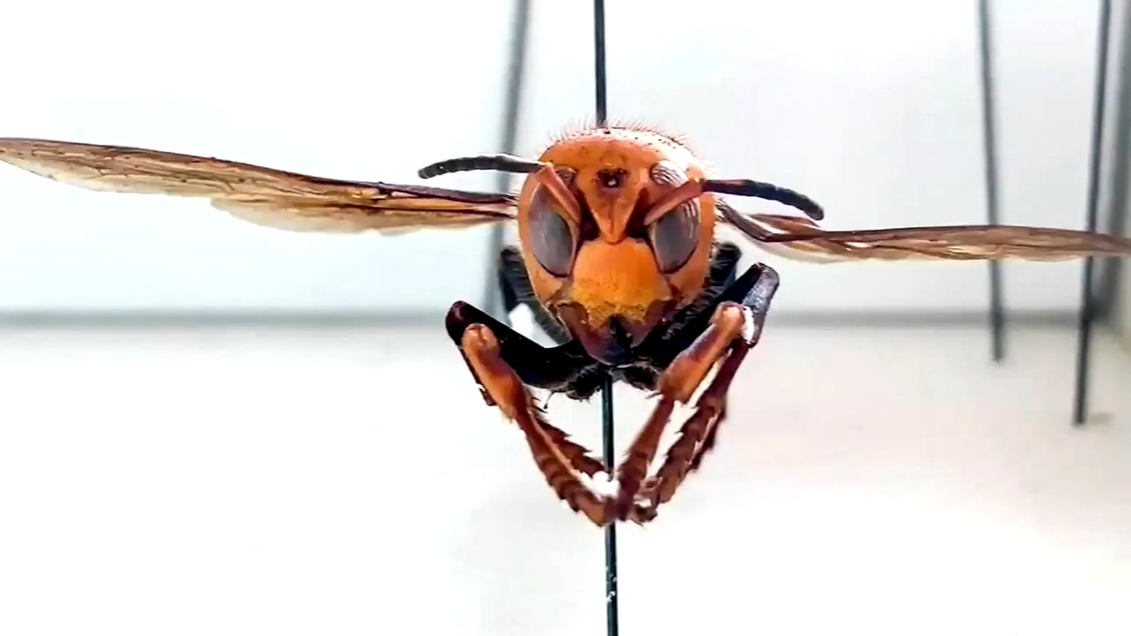 Officials confirm 3 new sightings of Asian giant 'murder hornets' in Washington state