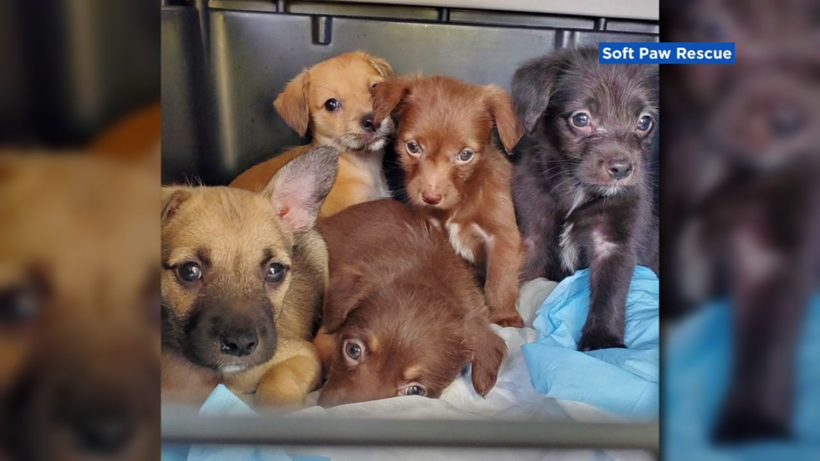 Sonoma County woman's quick thinking saves 5 puppies during devastating wildfires