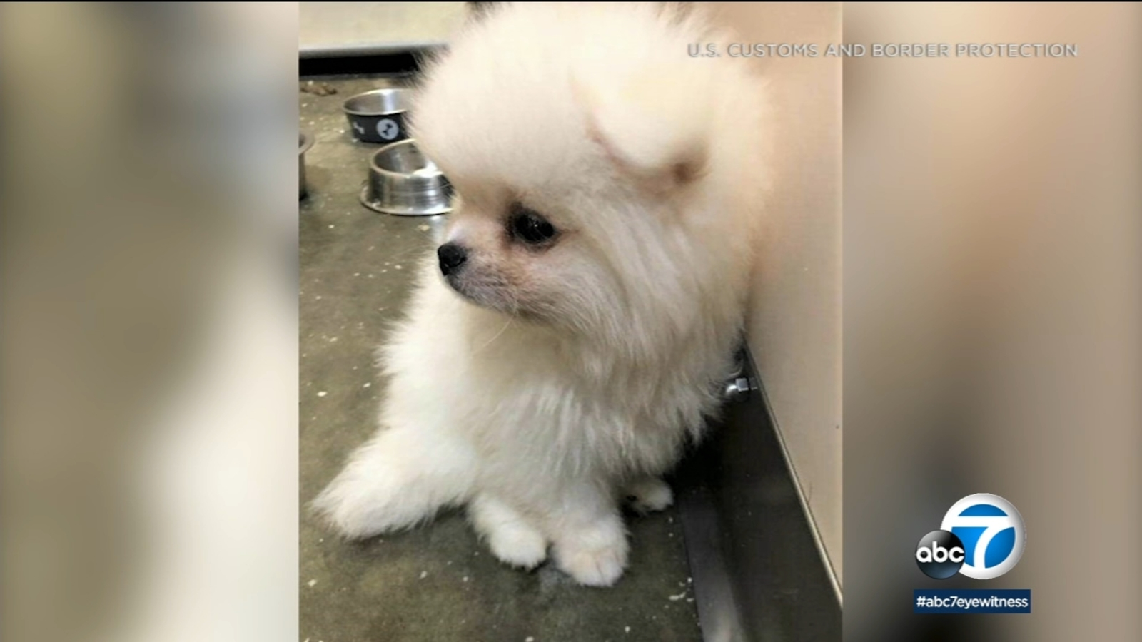 California Authorities Intercept 8 Smuggled Pomeranian Puppies From Russia At Los Angeles International Airport Abc7 Chicago