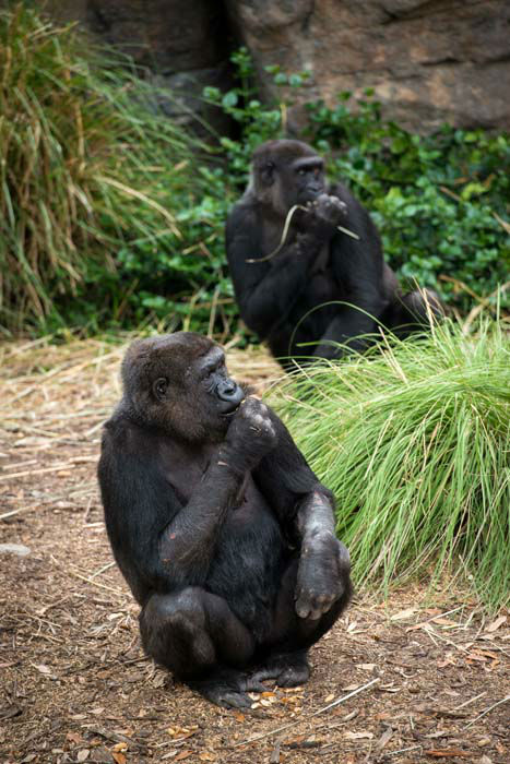 "<div class=""meta image-caption""><div class=""origin-logo origin-image none""><span>none</span></div><span class=""caption-text"">A gorilla explores its new enclosure at the Houston Zoo on April 8, 2015 (Houston Zoo/Stephanie Adams)</span></div>"