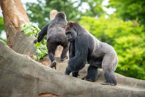 "<div class=""meta image-caption""><div class=""origin-logo origin-image none""><span>none</span></div><span class=""caption-text"">Gorillas explore the new enclosure at the Houston Zoo on April 8, 2015 (Houston Zoo/Stephanie Adams)</span></div>"