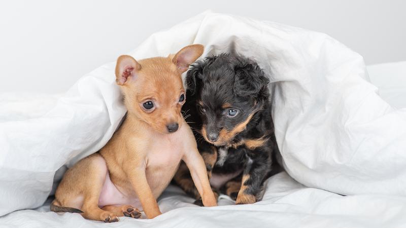 32 HQ Photos New York Puppies Craigslist - Yorkshire ...