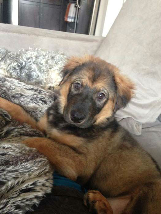 """<div class=""""meta image-caption""""><div class=""""origin-logo origin-image none""""><span>none</span></div><span class=""""caption-text"""">The German Shepherd mix puppy was found abandoned under a NW Houston home (KTRK Photo)</span></div>"""