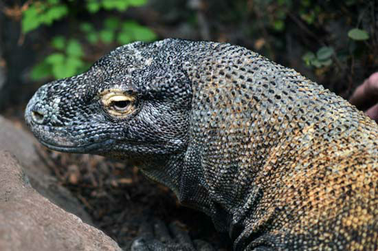 """<div class=""""meta image-caption""""><div class=""""origin-logo origin-image none""""><span>none</span></div><span class=""""caption-text"""">Experts at the Houston Zoo and the Baylor College of Medicine teamed up to help Smaug, the Komodo dragon (KTRK Photo/ Houston Zoo)</span></div>"""