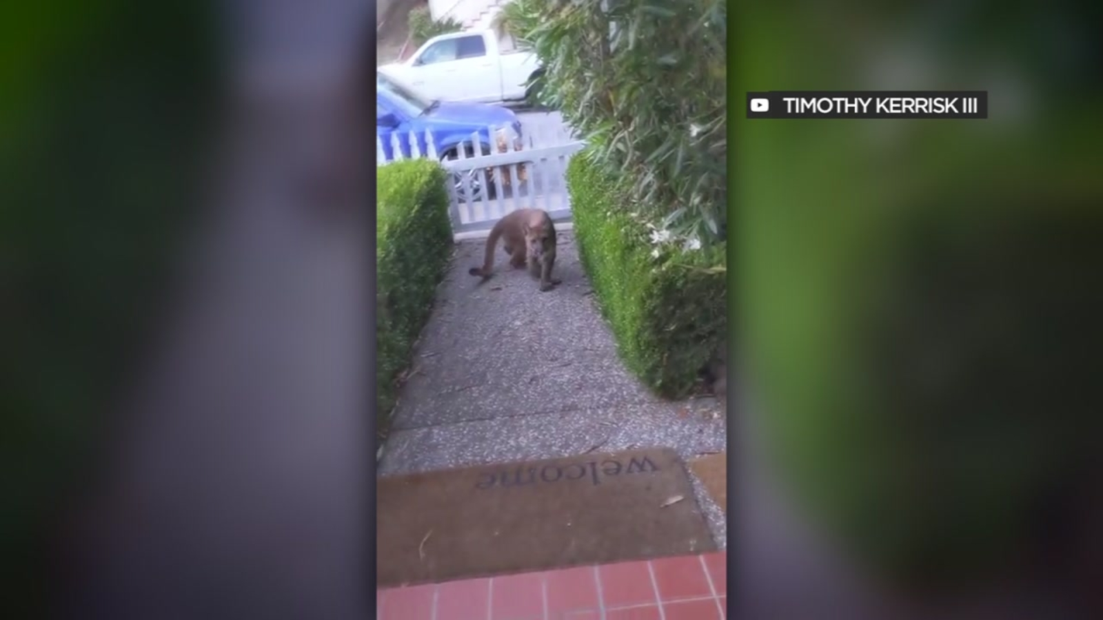 California man describes close encounter with mountain lion, who appeared to be watching group of kids