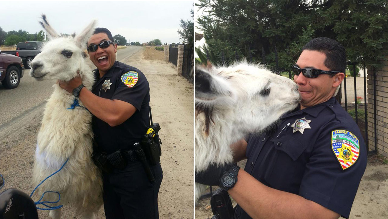 Llama runs on Sanger road, captured by officers