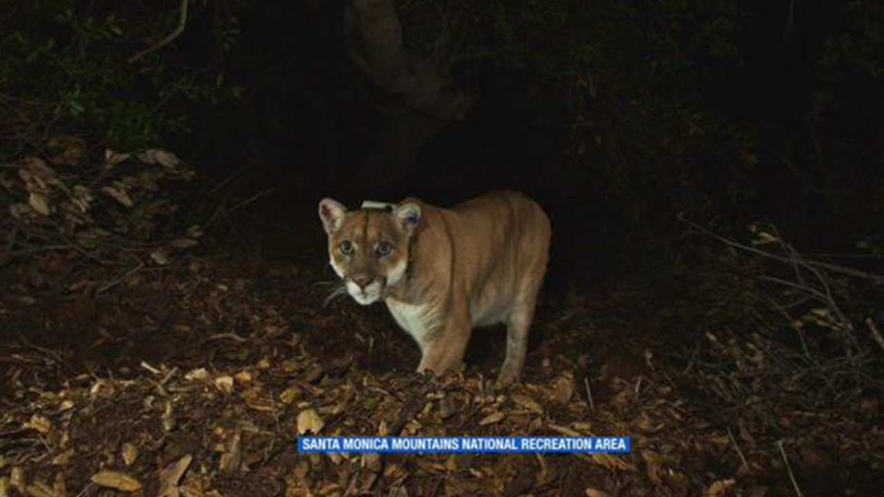 A mountain lion, known as P-22, is shown in this undated file photo.