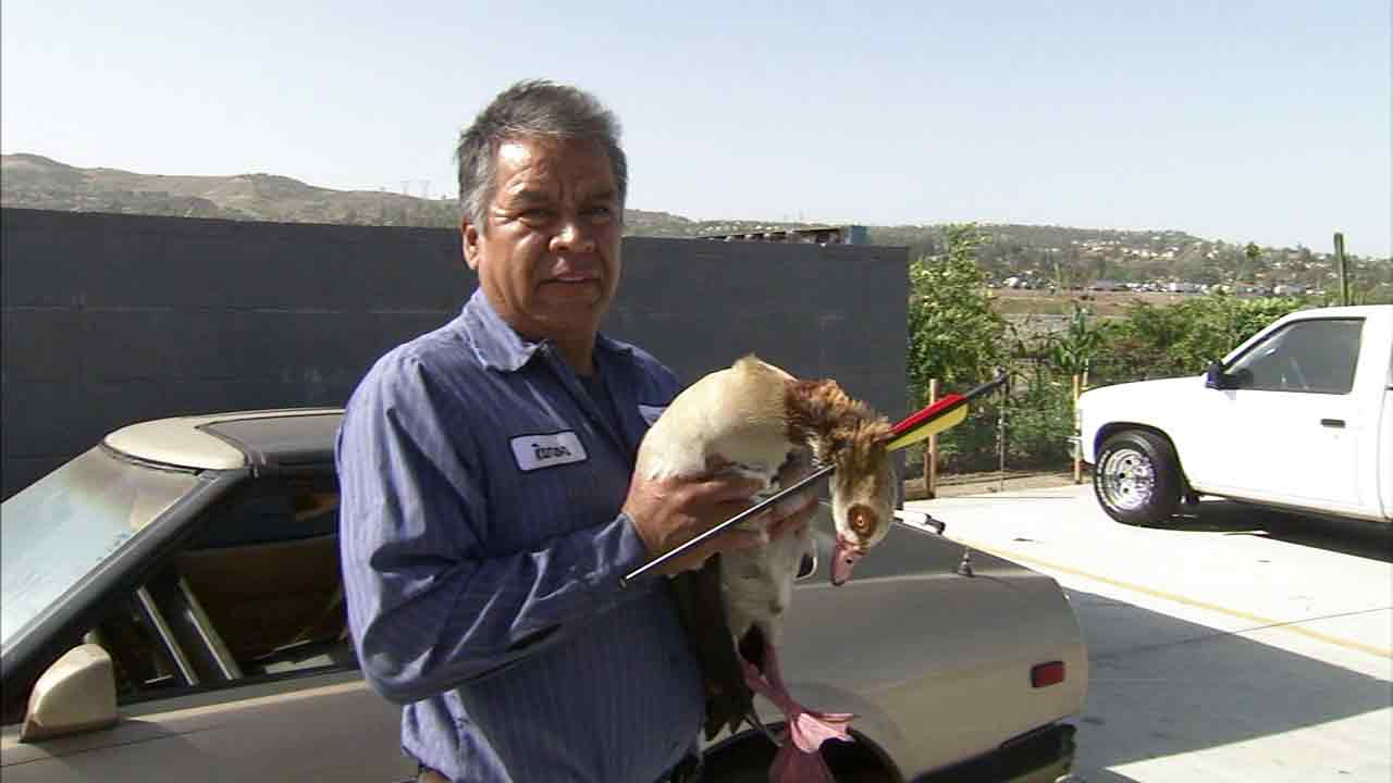 A car wash worker holds the Egyptian goose seen wandering Anaheim Hills with an arrow in its neck. The animal was turned over to Orange County Animal Care.
