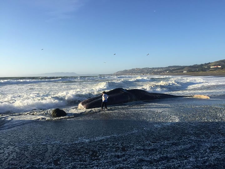 """<div class=""""meta image-caption""""><div class=""""origin-logo origin-image none""""><span>none</span></div><span class=""""caption-text"""">Experts say a dead sperm whale washed ashore at a popular beach in Pacifica, Calif. on April 14, 2015. (KGO-TV/Lilian Kim)</span></div>"""