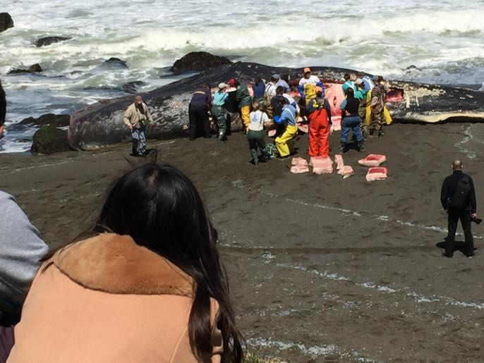 """<div class=""""meta image-caption""""><div class=""""origin-logo origin-image none""""><span>none</span></div><span class=""""caption-text"""">A crowd gathers in Pacifica, Calif. on April 15, 2015 to watch as scientists perform a necropsy on a dead sperm whale that washed ashore. (KGO-TV/Wayne Freedman)</span></div>"""