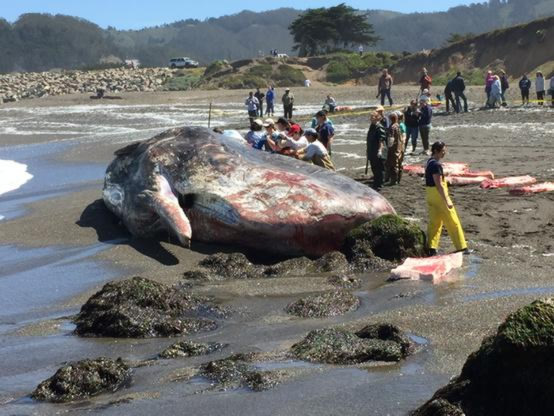 """<div class=""""meta image-caption""""><div class=""""origin-logo origin-image none""""><span>none</span></div><span class=""""caption-text"""">On April 15, 2015, scientists examine a dead sperm whale that washed ashore at a popular beach in Pacifica, Calif. (KGO-TV/Wayne Freedman)</span></div>"""