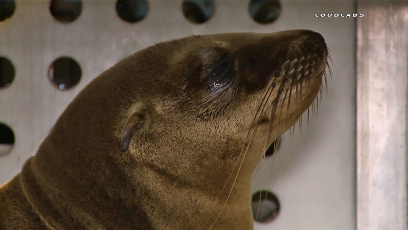 A baby sea lion found hiding behind a bush after its sibling was stolen from Dockweiler State Beach is shown in the photo on Sunday, April 19, 2015.