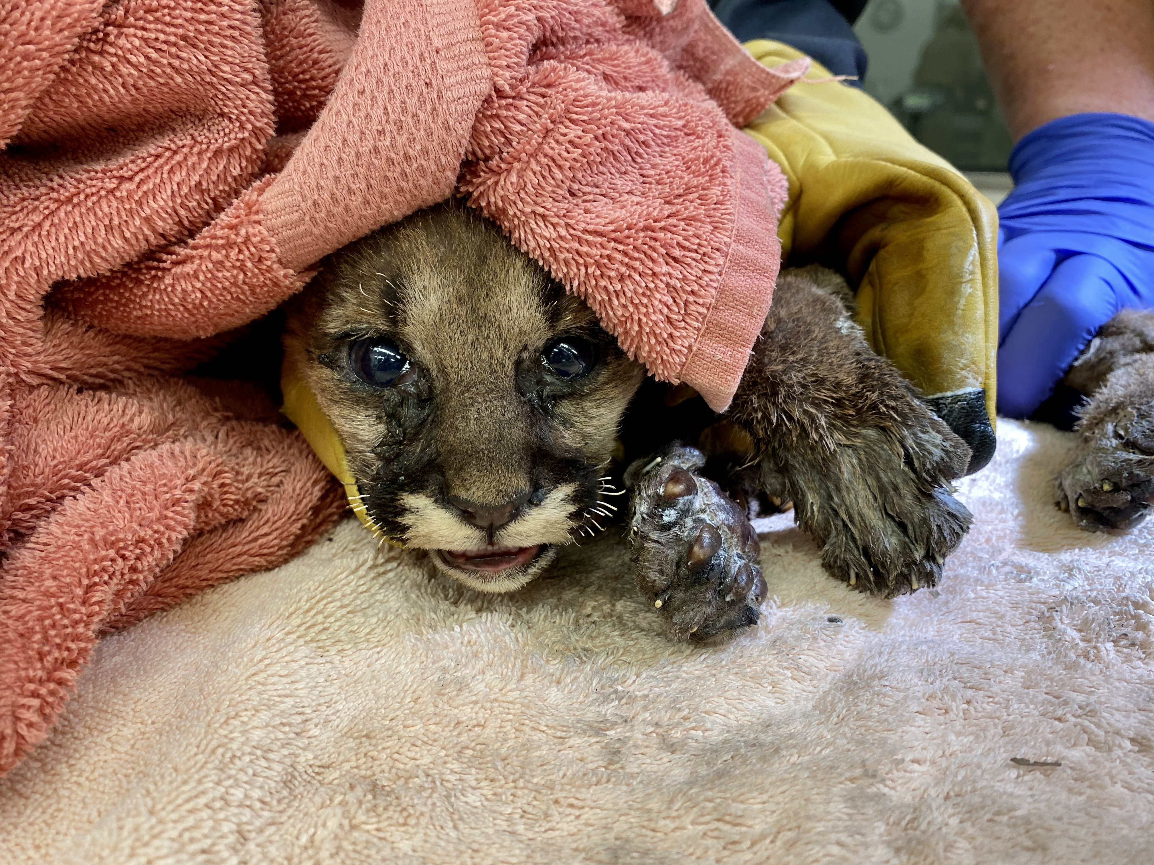 This image shows a mountain lion cub rescued by CAL FIRE from the Zogg Fire burning in Shasta County, Calif. The cub is now being treated at the Oakland Zoo.
