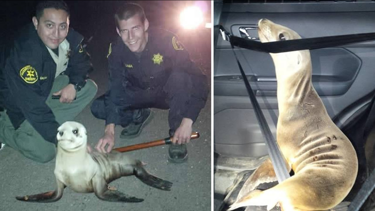Mendocino County Sheriff's deputies rescued a sea lion pup found on Highway 1 near Fort Bragg, Calif. on April 19, 2015.