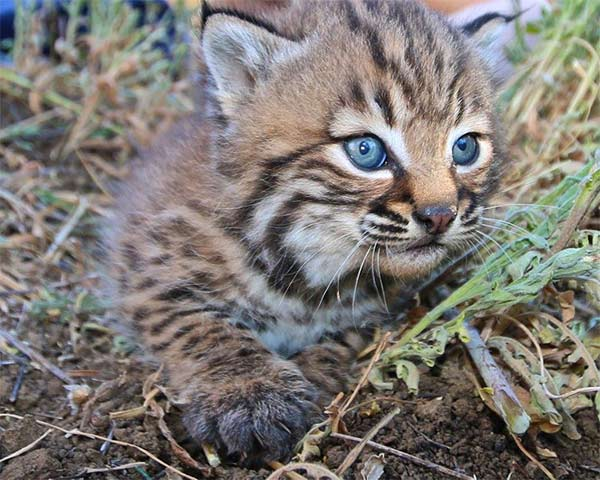 """<div class=""""meta image-caption""""><div class=""""origin-logo origin-image none""""><span>none</span></div><span class=""""caption-text"""">Baby bobcat, B327, was found in a den near Oak Park in the Simi Hills. It was ear-tagged for a study of how urbanization has affected bobcats in the Santa Monica Mountains. (facebook.com/santamonicamtns)</span></div>"""