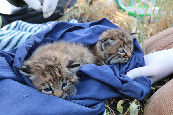 """<div class=""""meta image-caption""""><div class=""""origin-logo origin-image none""""><span>none</span></div><span class=""""caption-text"""">Baby bobcat sisters B326 and B327 are seen before being ear-tagged by biologists conducting a study in the Santa Monica Mountains. (facebook.com/santamonicamtns)</span></div>"""