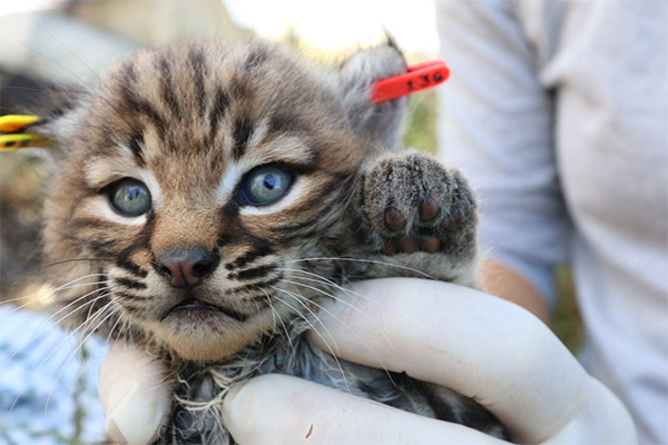 """<div class=""""meta image-caption""""><div class=""""origin-logo origin-image none""""><span>none</span></div><span class=""""caption-text"""">Baby bobcat B327's ear was tagged by biologists conducting a study in the Santa Monica Mountains. (facebook.com/santamonicamtns)</span></div>"""